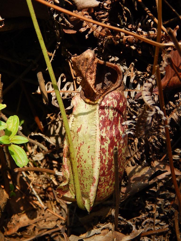 Nepenthes rafflesiana (Raffles' pitcher plant); lower pitcher; Sentosa Island, Singapore