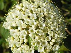 Wayfaring-tree (Viburnum lantana)