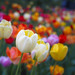 Tulipbokeh by RobertCross1 (off and on)