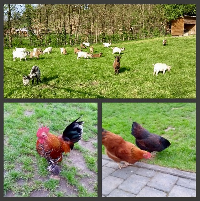 Kippen en geiten