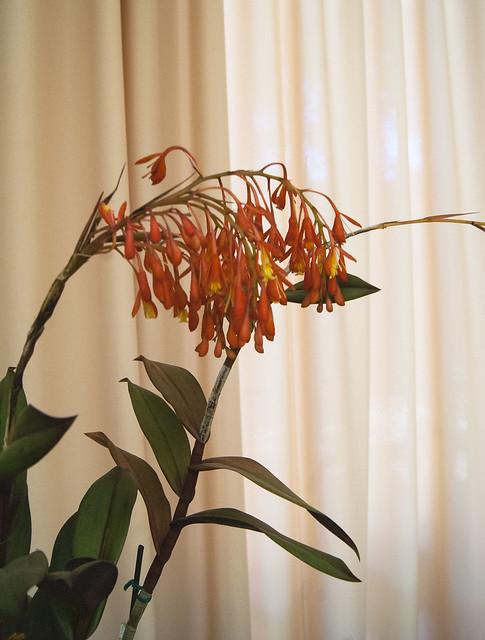 Epidendrum embreei