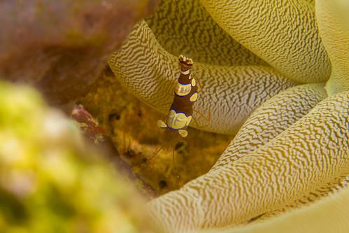 bonaire bonairesinteustatiusandsaba caribbean giantcaribbeananemone thoramboinensis underwater anemone cleanershrimp cleaningstation color diverdoug marine ocean reef sea squatanemoneshrimp symbiosis underwaterphotography
