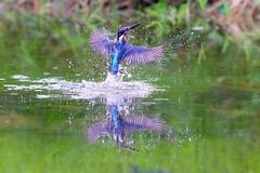 飛羽 Bird