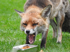 3rd  may 2017 Foxes 017