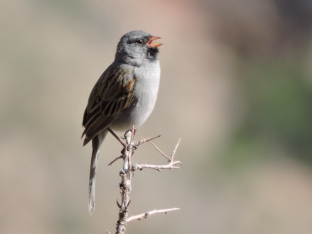 Black-chinned Sparrow