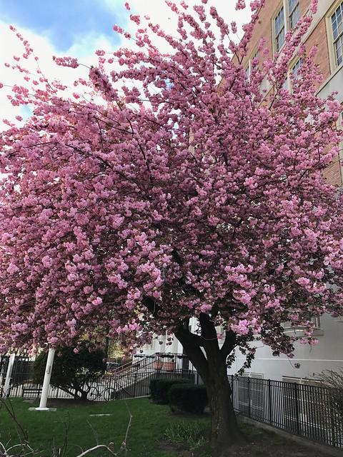日, 2017-04-23 13:10 - 満開の八重桜