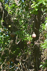 Entebbe, Uganda - Entebbe Botanical Gardens - Cannonball Tree (2)