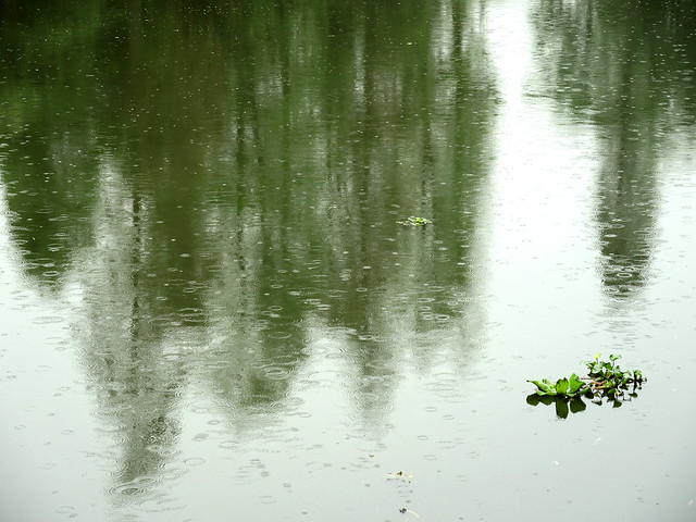 Pistia stratiotes 水浮蓮, Nikon COOLPIX P7800