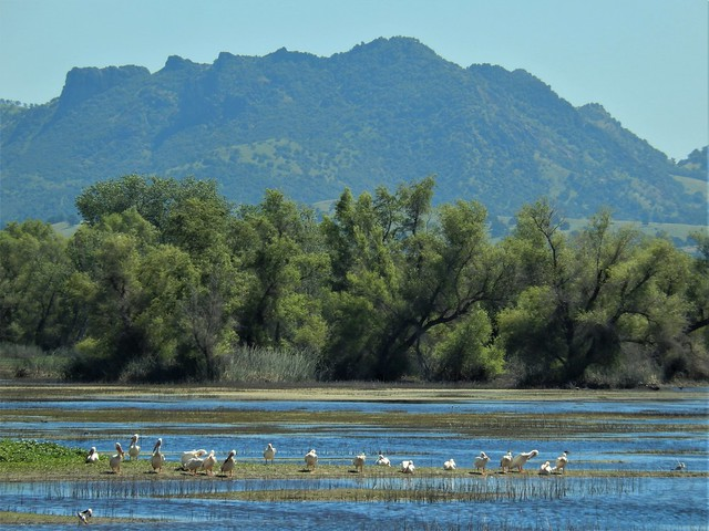 White pelicans and the, Nikon COOLPIX S9500