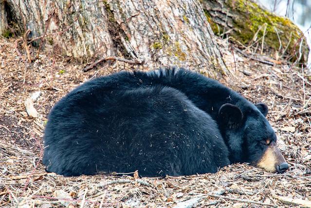 Bear Resting (Explored), Nikon D610, AF-S Nikkor 300mm f/4E PF ED VR