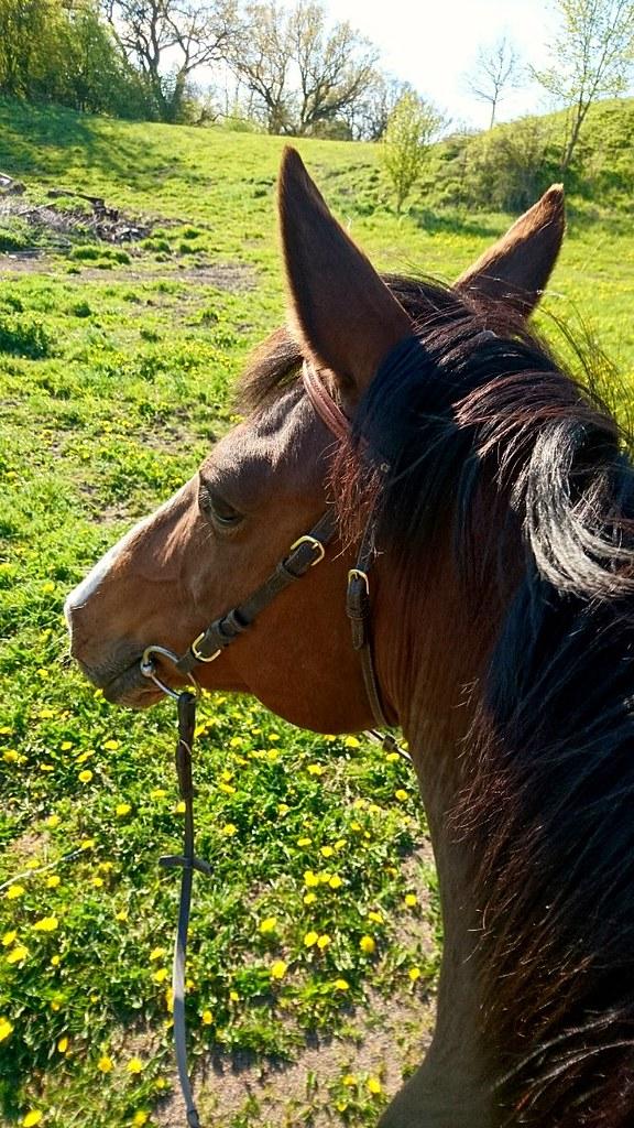 Hästlycka