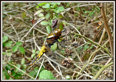 A newly emerged Dragonfly. Broad-bodied Chaser Libellula depressa