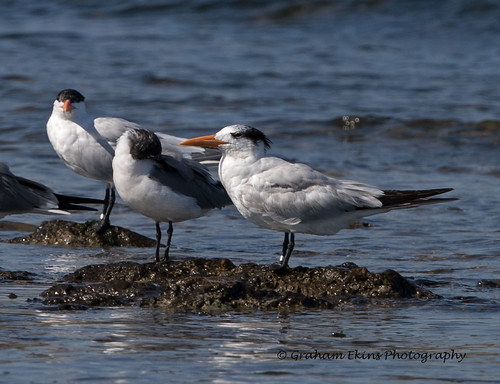 royaltern winterplumage thalasseusmaximusmaximus thalasseusmaximus cuba havana havanabeach grahamekins canon1dxii canon300mmf28iicanon14xiii tern seabird