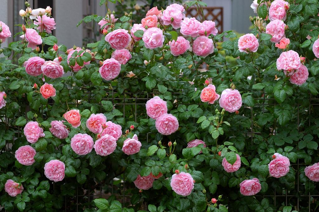 Hình ảnh cực kì ấn tượng về 1 giàn hoa hồng Strawberry Hill rose trồng theo hàng rào. Nguồn ảnh: sưu tầm