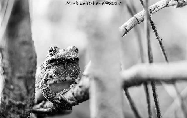 Gray Tree Frog, Canon EOS 6D, Canon EF 50mm f/1.2L