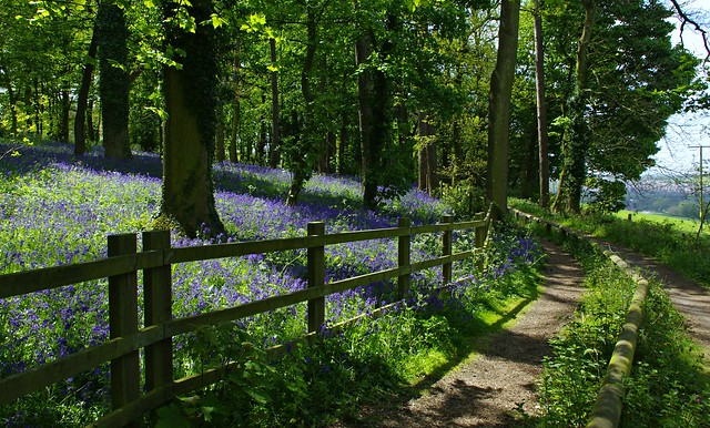 Hopwell Hall bluebell path