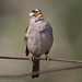 white crowned sparrow by pandeesh89