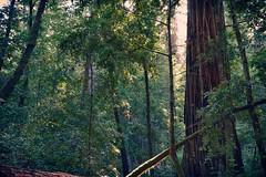 Sunshine breaking through Redwoods