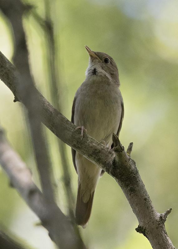 Possible Marsh Warbler ?