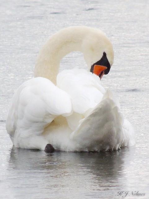 Swans-62