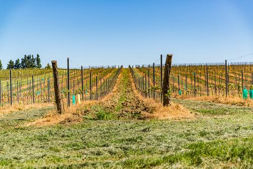 03-Vigne maltraitée aux pesticides !!