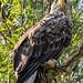 Eastern Imperial Eagle (Judith Rolfe)