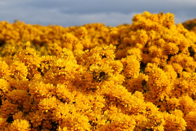 23rd April 2017. Gorse on the Hill of Doune near Macduff, Banffshire, Scotland