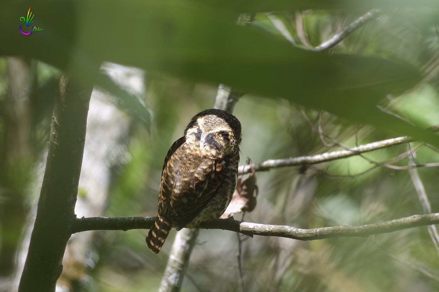 Collared_Pigmy_Owlet_4378