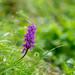 Kanton Uri: Orchid (2/3) by jaeschol