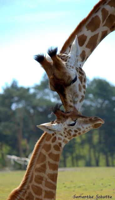 Giraffe, Safaripark Beekse Bergen, Nikon D3200, AF-S DX VR Nikkor 55-300mm 4.5-5.6G ED