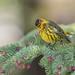 Cape May Warbler by Joe Branco