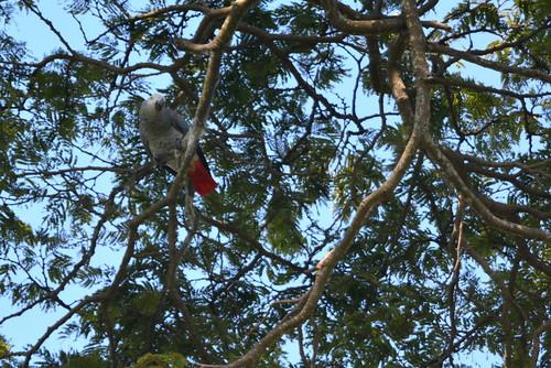 africa uganda entebbe botanicalgardens wildlife bird parrot