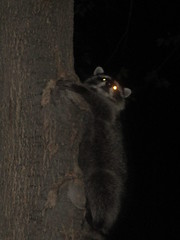 To a tree, a raccoon gives a squeeze.