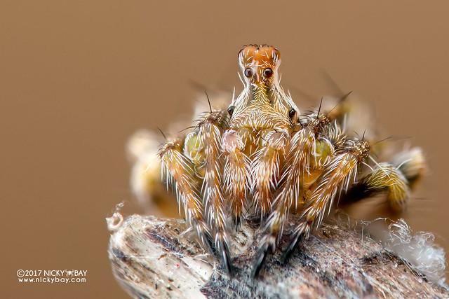 Periscope orb-weaver (Araneidae) - DSC_4756