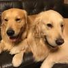 ん?あれ〜?(左ケージに入れられてた人、右そのままだった人、今帰ってきたところの僕) #脱走 #お留守番 #ゴールデンレトリバー #ごーるでんれとりばー #大型犬のいる生活 #goldenretriever #dogs #dogslife #prisonbreak
