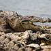 Marsh Mugger Crocodile - Chambal River (Neil Pont)
