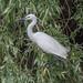 Little Egret (Judith Rolfe)