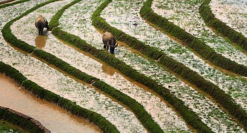 Buffalo on the rice terraces of Ta Phin