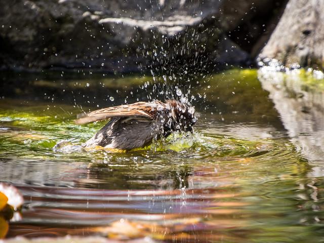 sparrow bath