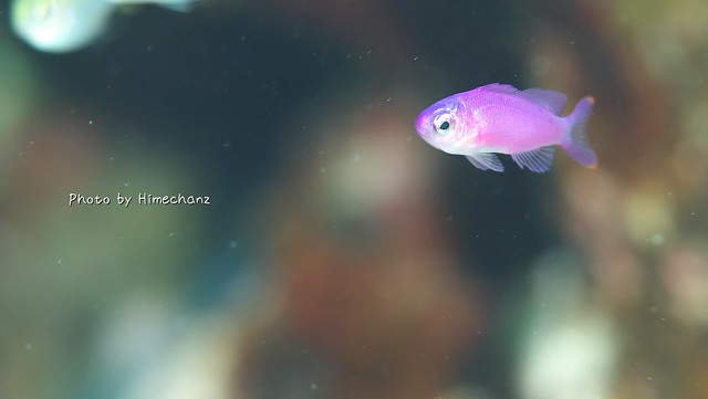 ハナゴイの幼魚。やばい。かわいい。