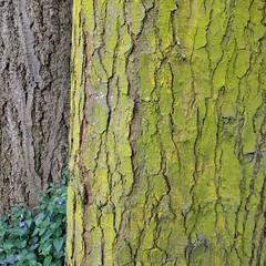 One of these #trees is #trippingonacid ... #lichen #tree #statepark #camanoisland #lichenology #flourescentyellow #bark #chrysothrixcandelaris #mustardpowderlichen #golddustlichen #crustose #crustoselichen