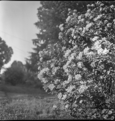 roses rosebush flowers landscape westasheville northcarolina flektar flektar75mmf35 tlr twinlensreflex ilfordfp4 moerschecofilmdeveloper 120 film 120film mediumformat monochrome monochromatic blackandwhite