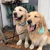 ぶんちょろりと、インコさんバンダナでびゅー #goldenretriever #dogs #dogslife #大型犬のいる生活 #ごーるでんれとりばー #ゴールデンレトリバー #バンダナ #看板犬