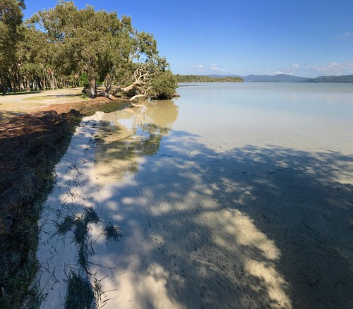Melaleuca quinquenervia at the Sailing Club, Wallis Lake, Booti Booti National Park just south of Forster, Mid North Coast, NSW