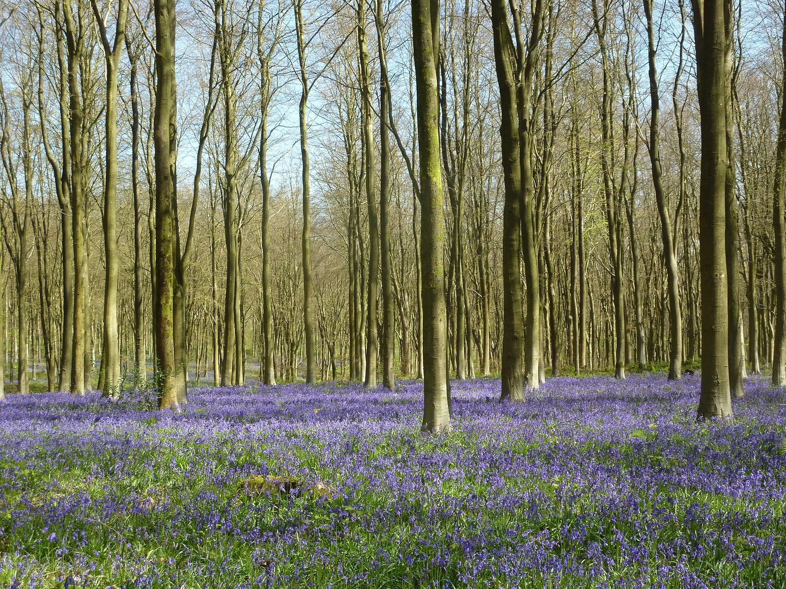 West Woods Bluebells