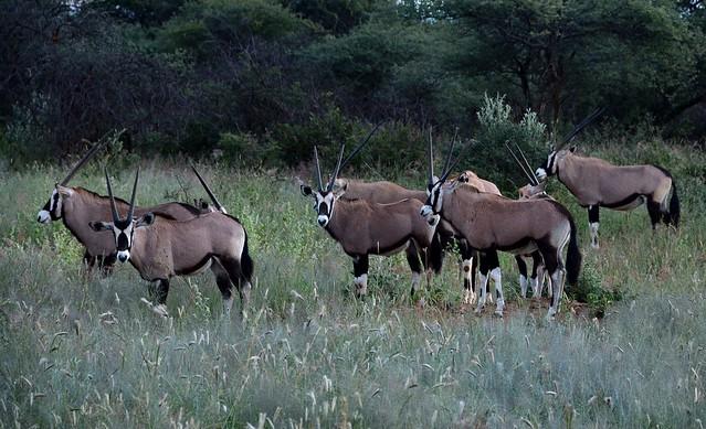 Oryx at Okonjima Plians, Nikon D7100, AF-S DX Nikkor 18-300mm f/3.5-6.3G ED VR