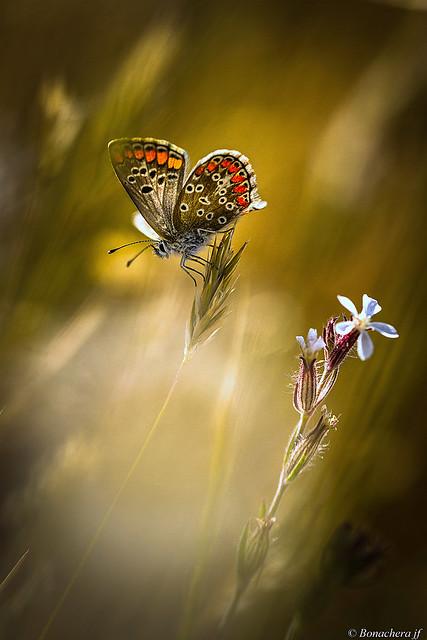 l'argus à la fleur..., Canon EOS 7D, Sigma 150mm f/2.8 EX DG OS HSM APO Macro