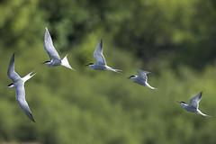 HolderCommon Tern Hunting Wilstone May 2017