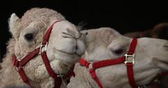 HappyTailsPetPal - Camel Brothers