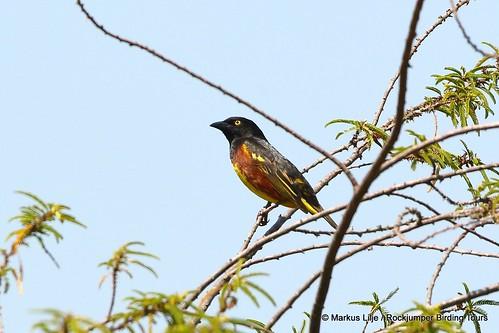 bird birding birds uganda 2016 markuslilje weaver male breedingplumage weynssweaver ploceusweynsi